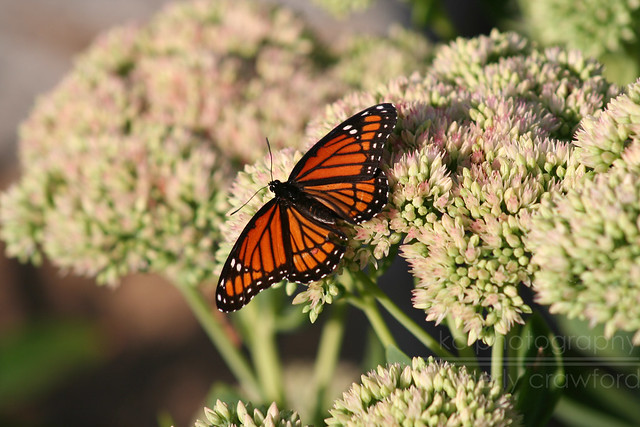 monarch butterfly 2013 wm