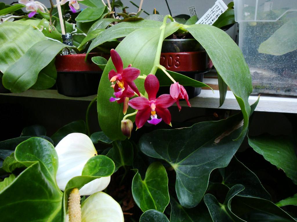 Phalaenopsis bellina 'Ponkan' x mannii 'Black' 10016559086_8d46a0957e_b