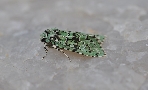 2247 Merveille du Jour Dichonia aprilina Thanet by Kinzler Pegwell