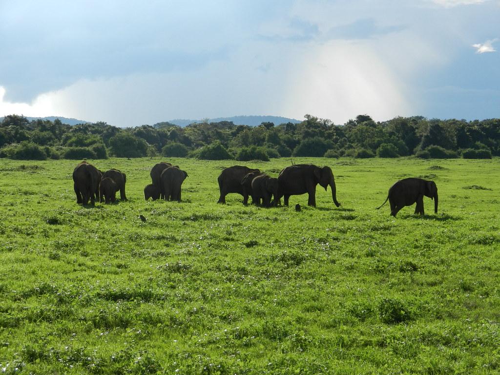 Слоны Шри Ланки. Миннерия