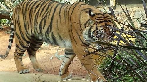 Taronga Zoo: Sumatran Tiger