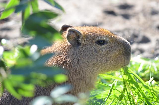 上野動物園のカピバラ一家 2013年11月24日