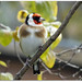 Resting goldfinch!