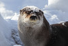 River Otter in the Snow