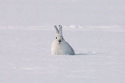 Wildlife in British Columbia, Canada: Snowshoe Hare (Snowshoe Rabbit)