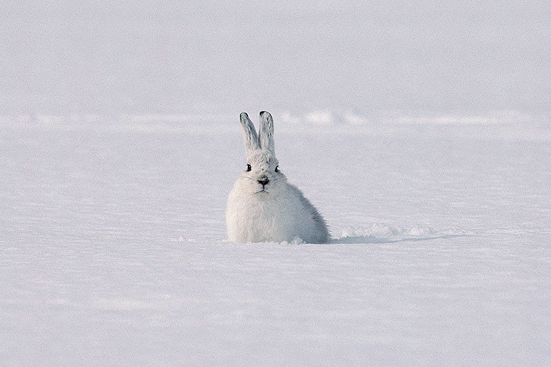 Wildlife in British Columbia, Canada: Snowshoe Hare (Snowshoe Rabbit)