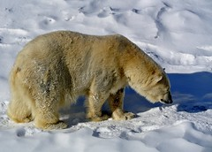 animal, arctic, winter, tundra, snow, polar bear, polar bear, mammal, grizzly bear, fauna, bear, wildlife,