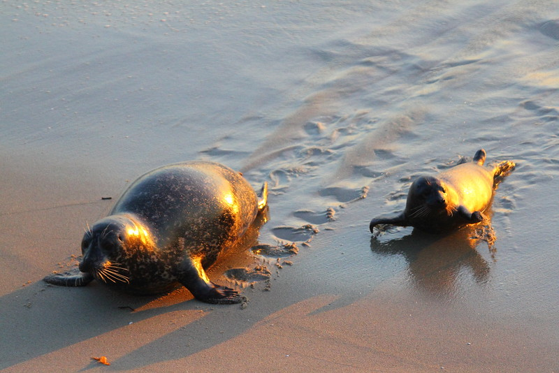 "IMG_4252 Harbor Seal ""Footprint"""