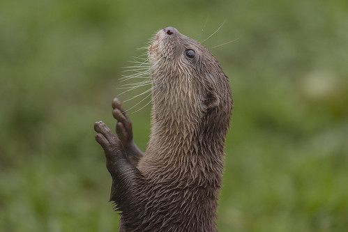 Profile of a slender otter, bolt upright and looking up into the sky, front paws raised.