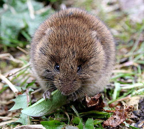 Vole species Tophill Low NR, East Yorkshire March 2014