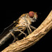 Robberfly by Kerry-Ann van Eeden