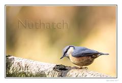 Nuthatch
