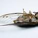 sd quattro h 30mm f1.4 art cicada-2 by chrisfergusonworks