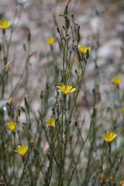 Chondrilla sp. (Asteraceae)