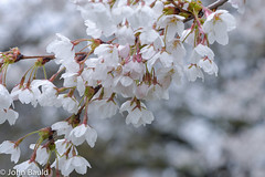 Cherry Blossoms at Trinity Bellwoods Park