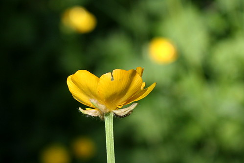 Ranunculus repens - renoncule rampante 33463593694_585d8c1490