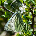 Green-veined White (Pieris napi) by Matchman Devon
