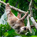 Two-toed Sloth (Ian Talboys)