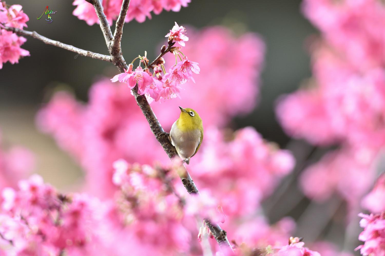 Sakura_White-eye_8159