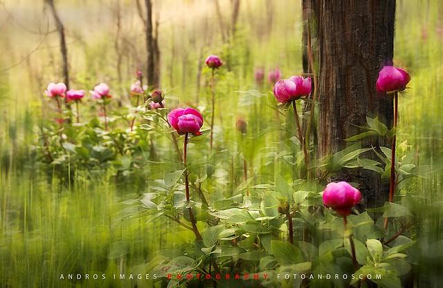 And little by little with the new spring appeared peonies in the forest // Y poco a poco con la nueva primavera fueron apareciendo las peonías en el bosque