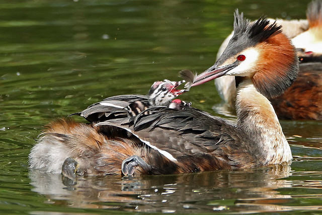 Great-crested Grebe. (Podiceps cristatus).