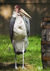 Memphis Zoo 08-31-2016 - Marabou Stork 1
