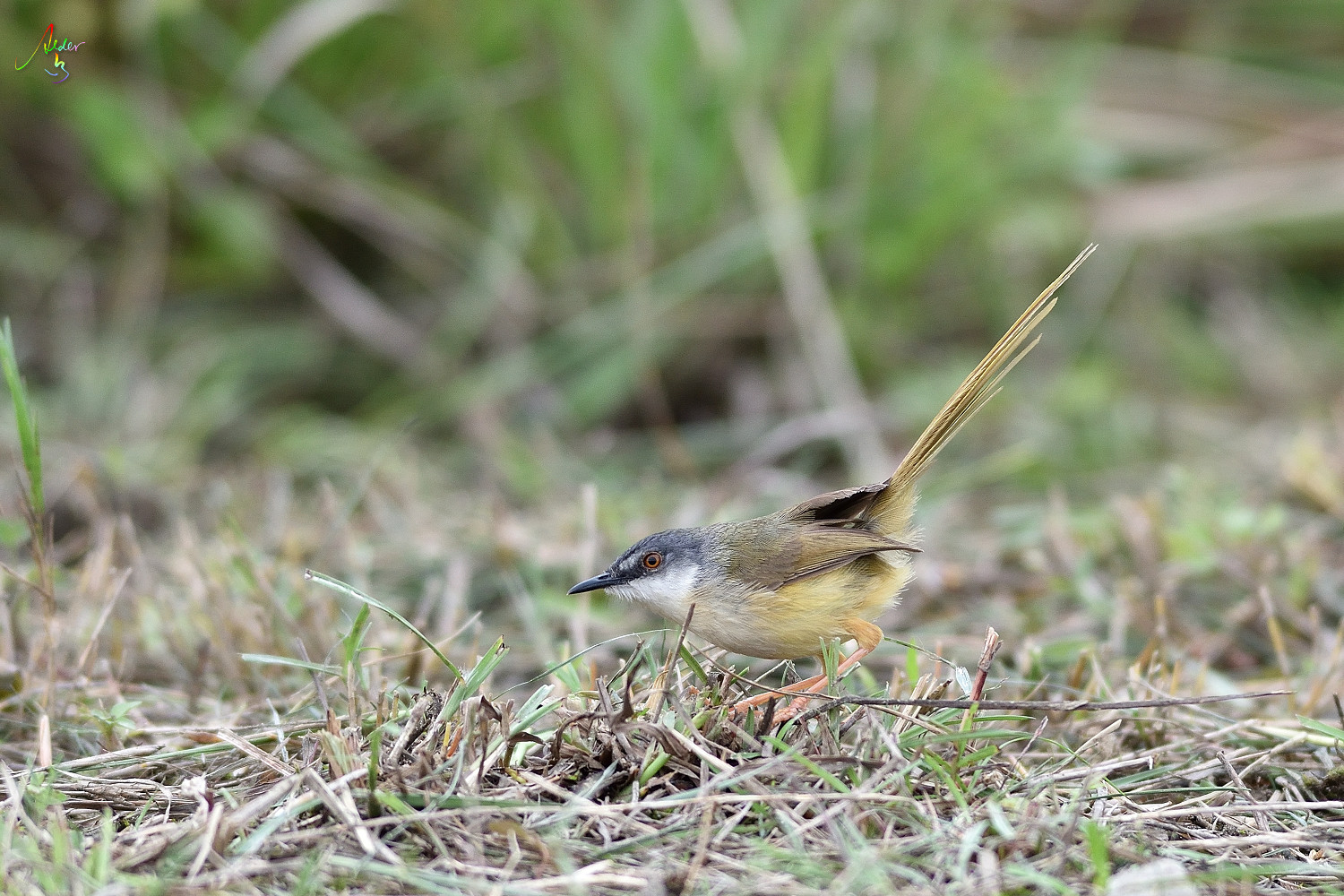 Yellow-bellied_Prinia_3661