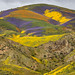 Wildflowers in the Temblor Range by Jeffrey Sullivan