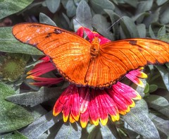 Flowerwings... #flowerwings #flower #wings #butterfly #butterflygarden #colorful #nature #insect #livingnature #instagram #instagood #christophermcguirkphotography #photooftheday #photo #plant #plantlife #nectar #petals #greenthumb #florida #orange #resti