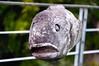 Cape Fish