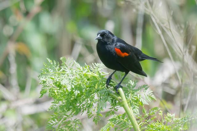 DSC 3785.jpg Red-winged Blackbird, Nikon D7200, AF-S Nikkor 300mm f/4E PF ED VR