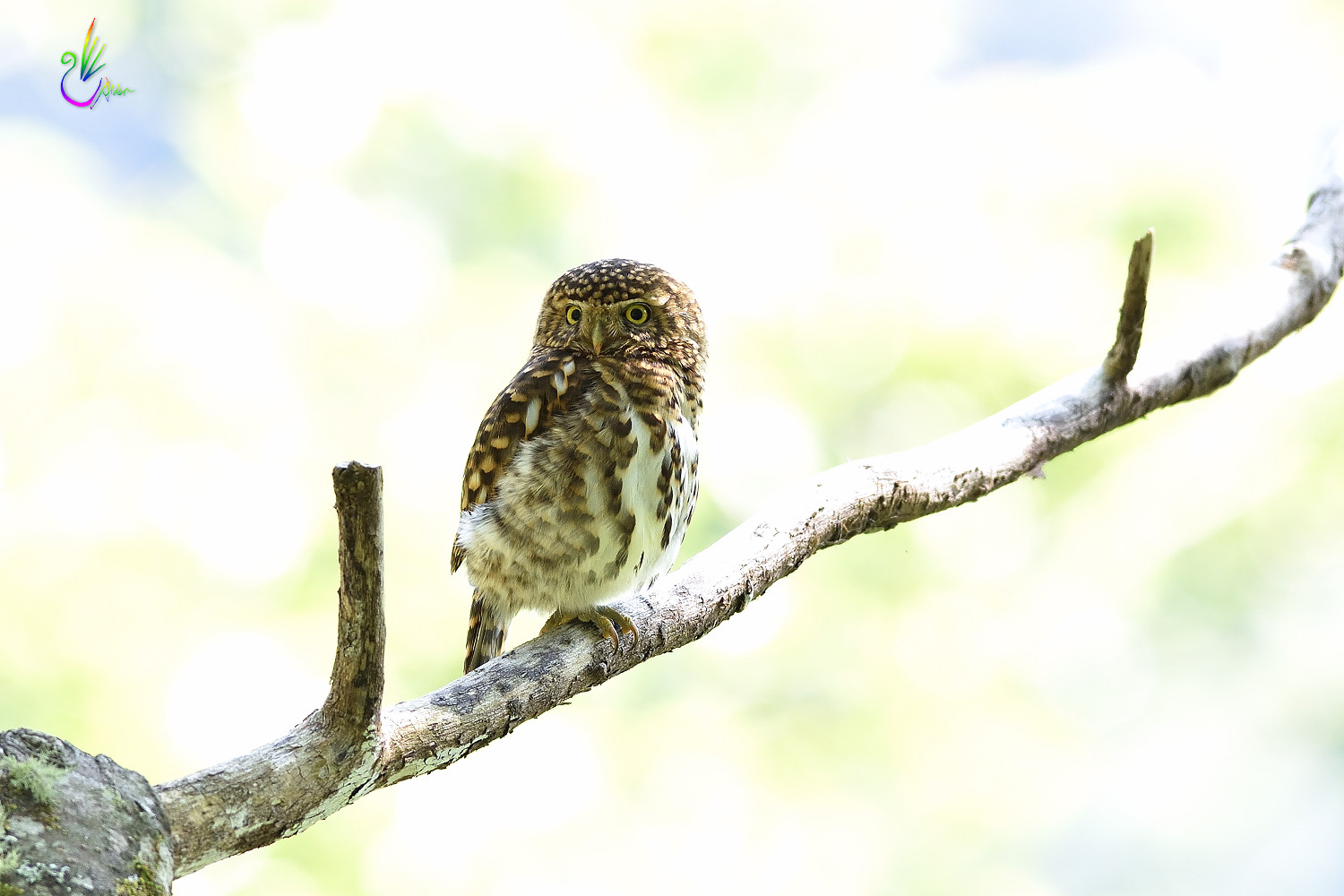 Collared_Pigmy_Owlet_4828