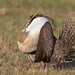 BJ8A2385-Greater Sage Grouse