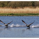 Canada Geese at  WWT