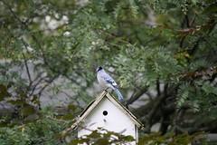wildlife(0.0), animal(1.0), branch(1.0), fauna(1.0), blue jay(1.0), bird(1.0),