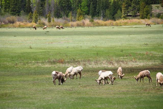 Bighorn and Elk