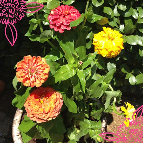 My new zinnias Zac got me at the farmers market :)  #ABeautifulMess