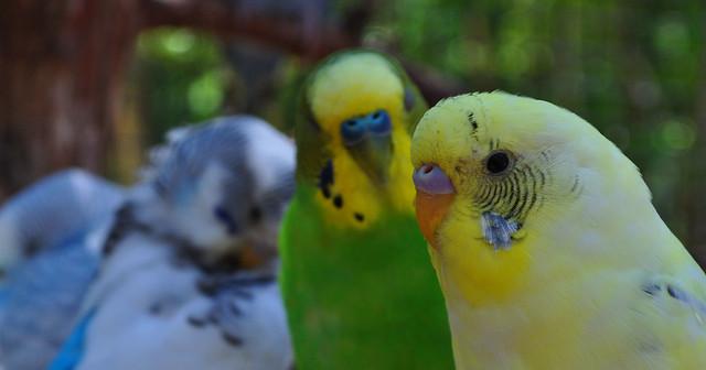 Budgerigar Parakeet (2)