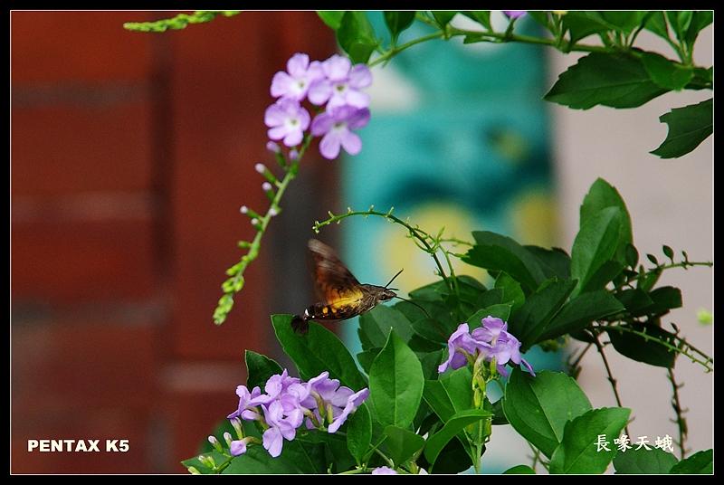 台灣金露花之長喙天蛾