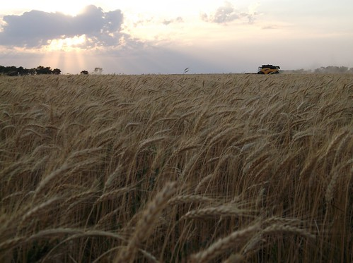 Combines at dusk