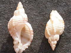 hand(0.0), invertebrate(0.0), cockle(0.0), conch(1.0), animal(1.0), sea snail(1.0), seashell(1.0), conch(1.0),