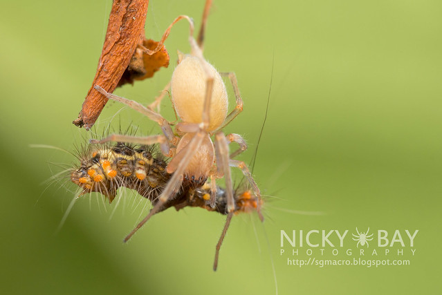 Long-Legged Sac Spider (Miturgidae) - DSC_9636