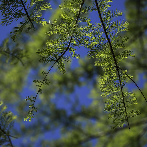 sky greenleaves usa plant blur tree green nature leaves pinetree pine photography march us photo leaf spring branch texas unitedstates image tx branches unitedstatesofamerica houston bluesky fav20 100mm photograph 100 delicate fav30 squarecrop hermannpark hermann fineartphotography f40 youngleaves commercialphotography fav10 harriscounty editorialphotography 2013 intimatelandscape houstonphotographer ¹⁄₁₀₀₀sec ef100mmf28lmacroisusm mabrycampbell march12013 201303010h6a0739