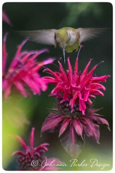 Hummingbird-drinks-nectar