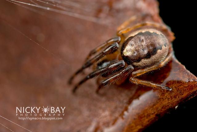 Orb Web Spider (Araneidae) - DSC_0666