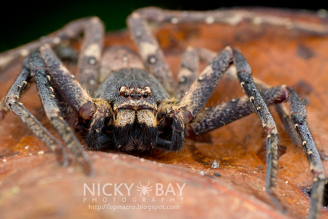 Huntsman Spider (Sparassidae) - DSC_1195