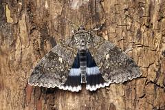 Moths - Britain & Europe