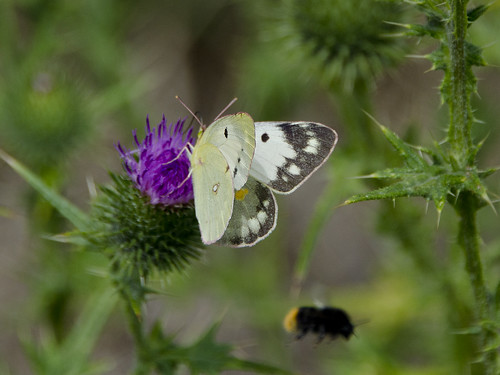 Pale Clouded Yellow taking off