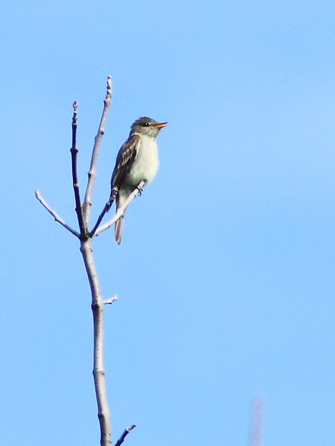 Eastern Wood-Pewee 20130815