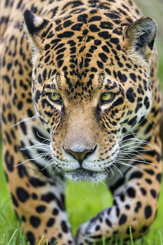 Closeup of Ares walking by Tambako the Jaguar
